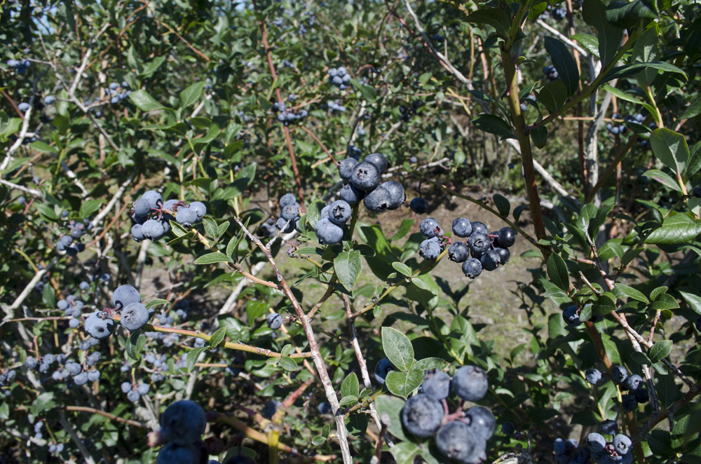 Klassen Blueberry Farm