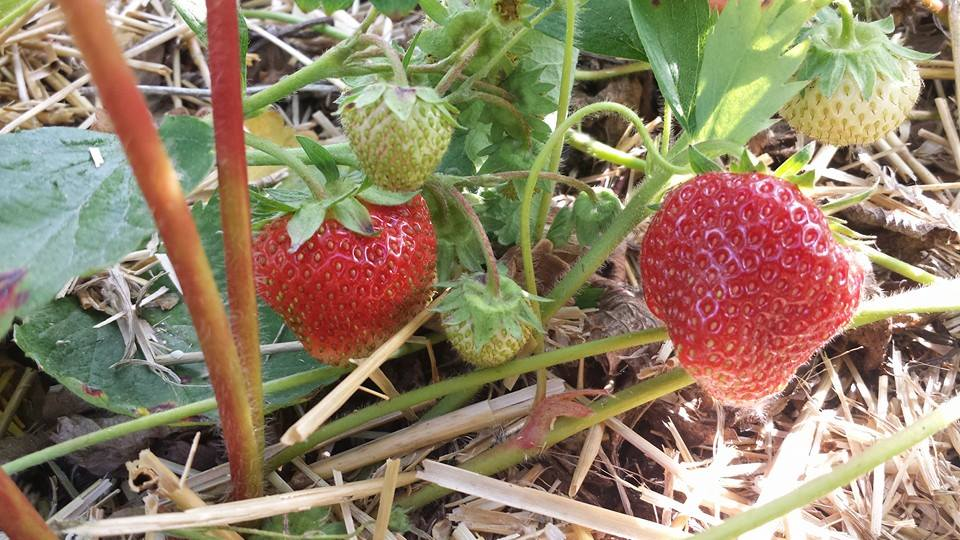 Meleg's Strawberries